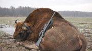 Лов на зубър в Беларус